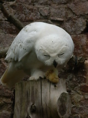 dinner (I'm allergic...) Tags: uk owls worldowltrust muncastercastle thelakesdistrict