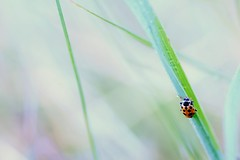waiting for you (dan [durango99]) Tags: morning light summer orange white black green grass rising early drops quiet purple spot line spots dew ladybird ladybug traveling stillness reverieart