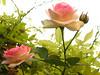 le rose del giardinetto