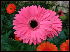 Gerbera jamesonii (Barberton/Transvaal/African Daisy) - a pink variety with black centre