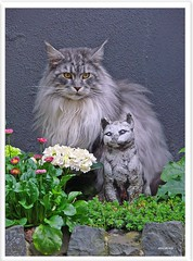 Nachwuchs? - addition to the family? (Jorbasa) Tags: pet animal cat deutschland hessen mainecoon maxwell katze kater gemany tier wetterau cc100 jorbasa blackclassicsilvertabby