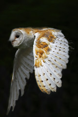Barn Owl (Ian Lambert) Tags: bird nature rural countryside flying wings wildlife flight feathers farmland lancashire preston barnowl birdofprey tytoalba thewonderfulworldofbirds