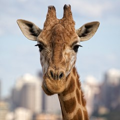 Giraffe in the city (Tanya Puntti (SLR Photography Guide)) Tags: animal zoo giraffe taronga tarongazoo