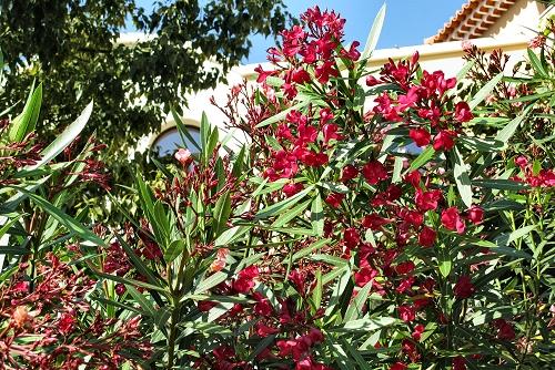 Nerium oleander (rq) - 02