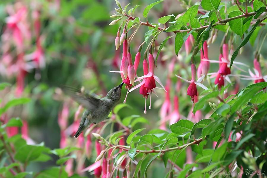 Anna's Hummingbird06091
