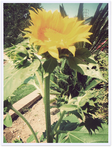 our sunflower