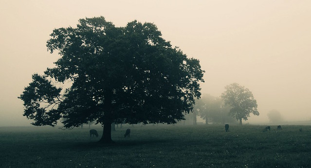 Cattle Farm in the Fog 4