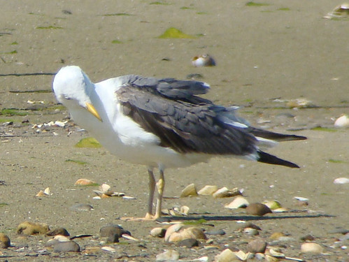 LESSER BLACK BACKED GULL 9 2009