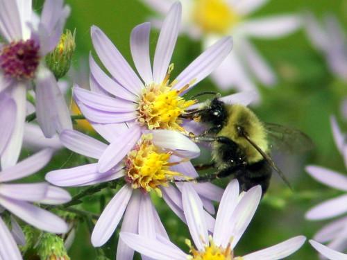 Bumblebee 20090917