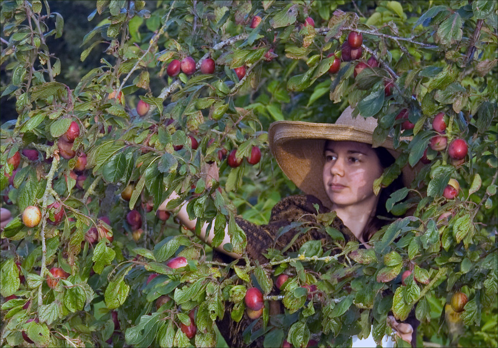 Rosa picking plums