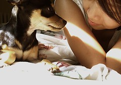 (jacintafiedx3) Tags: dog chihuahua puppy miniature coco bite vicious pincher chipin