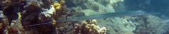 Pipefish (s7eve06) Tags: hawaii underwater maui kapalua