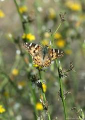 Vanessa Cardui (yokopakumayoko) Tags: sardegna butterfly mariposa farfalla vanessacardui anawesomeshot thesuperbmasterpiece floradellasardegna farfallediyokopakumayoko farfalledisardegna farfallefiorivolanti