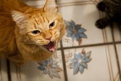 The Look (mrjoro) Tags: california home cat lenstagged oliver unitedstatesofamerica sanjose meow starred canonef24105f4l canon5dmarkii
