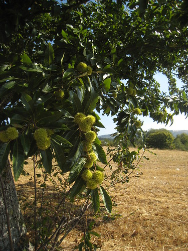 Chestnut trees in Portugal