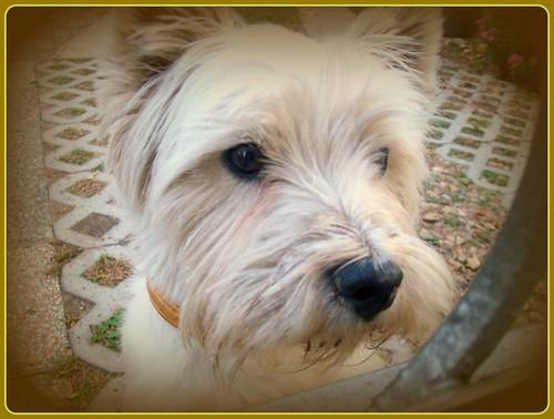 White dog/fehér kutyus