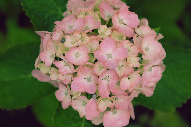 Hortensia, a June Bouquet