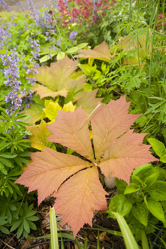 Rodgersia rotlaub patch