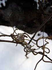 (photograph-e) Tags: winter brown white snow plant black cold ice nature outside outdoors frozen sticks focus stream frost branch crystal january clear loopy twisted squiggle grapevine traveler curvey froze dc8600
