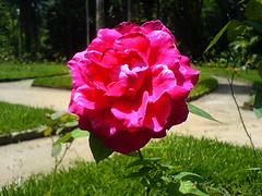Pink (flotocorazon) Tags: pink red brazil macro verde green brasil riodejaneiro flor dia jardimbotnico vermelha zonasul rosachoque