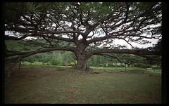tree (ashesrequiem) Tags: trees tree slr nature japan nikon fuji availablelight superia january 400 fujifilm okinawa nikkor coolscan 2009 f28 ryukyu 18mm nikonfe2 fe2 1828 afd iheya coolscanv jan09 nikoncoolscanv 18mmf28afd january2009 jan2009 1828afd 1000yearoldtree or300yearsold