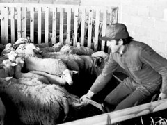 Tonte des brebis (Gers) (PierreG_09) Tags: bw rural noiretblanc campagne mouton soin brebis gers tonte ruralit ngatifnumris ngatifscann 19791983
