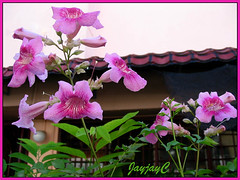 Podranea ricasoliana (Pink Trumpet Vine, Port St Johns Creeper) at our backyard, January 2007
