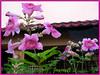 Podranea ricasoliana (Pink Trumpet Vine, Port St Johns Creeper, Port St Johns-klimop)