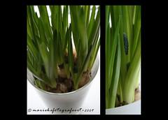 The first ones... (mariekefotografeert) Tags: blue white green spring groen blauw bleu thuis wit voorjaar bolletjes mariekefotografeert blauwedruifjes project366