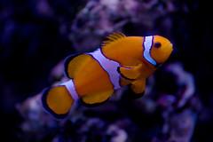 Clown fish_3 (AnnMalken) Tags: sea wild fish water animal zoo aquarium nemo clown under