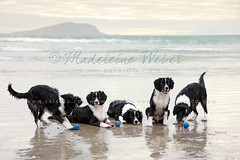 "pet Photography, animal Photographer Ireland by Madeleine Weber :: ""Fiann x 6"" :: tags, doggy, puppy, cute, dog, pets, ireland, kerry, iveragh peninsula, professional (* Madeleine Calaido Weber * - calaido.com) Tags: ireland dog pet pets beach dogs cloning eire kerry doggy countykerry petphotography scattifotografici"