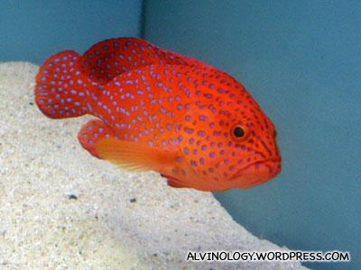 fierce-looking red fish
