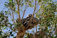 3 Lemures se balanceaban sobre ...... y como veían que no se caían...... (Y. Ballester) Tags: tree valencia arbol zoo nikon branch lemur rama d60 bioparc