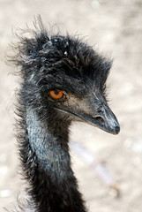 Bad Hair Day for an Emu (MichaelBarrow) Tags: black bird hair zoo colorado beak hairdo denver emu denverzoo badhair badhairday yourcountry