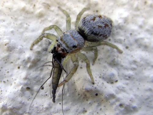 Salticidae + Chironomidae ♂