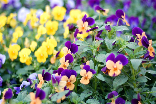 """I pray, what flowers are these? The pansy this, O, that's for lover's thoughts."""