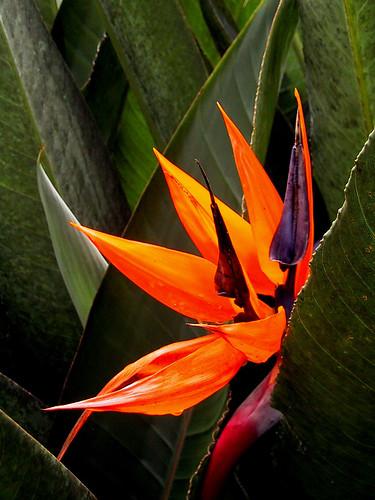 nature flowers orange Strelitzia