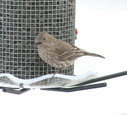 house finch female 02