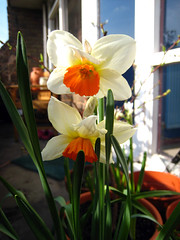 daffs (Goldtop) Tags: city urban plant green london garden balcony daffodil brixton