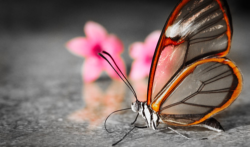 Transparent Butterfly by thefost
