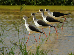 Marching Through the Marsh (Ryukyu Mike) Tags: animals japan published wildlife okinawa naturephotography himantopushimantopus dailynaturetnc09