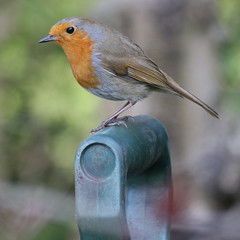 """That's a nice garden fork. Would you like me to give you a hand digging in that compost?"" asked Mr Robin. (Mukumbura) Tags: flower bird robin garden outdoors erithacusrubecula bokeh wildlife posing fork somerset friendly worms compost helper gardenfork diggingthecompost welcomeuk"