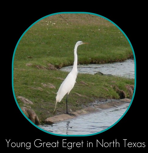Great Egret in North Texas