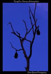Flying-foxes. (Dean Baxter) Tags: tree bat flyingfox fruitbat flyingfowes peteropuspoliocephalus