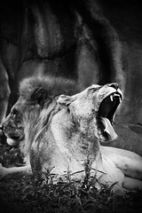 Say...ah~! (solidskorpion) Tags: animal zoo lion taiwan caged taipei   lioness 70200mm taipeizoo  blackwhitephotos