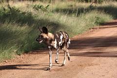 IMG_2400 (redsnapper2009) Tags: dog elephant bird african wildlife lion zebra giraffe hippo vulture impala krugernationalpark wid waterbuck kudu afrcan