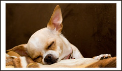 What she does best (Aaron Fortin) Tags: dog cute sweet honey fawn tiny cuddly chihuaha 6lb