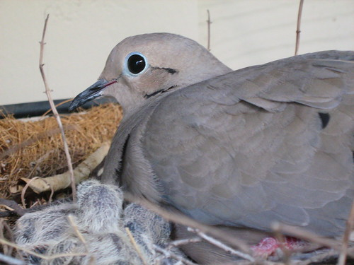 Mourning dove and chicks close