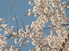 Cherry Blossoms Touch the Sky