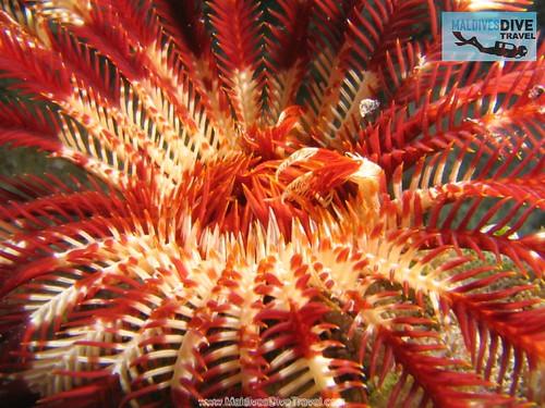 Maldives Red Coral